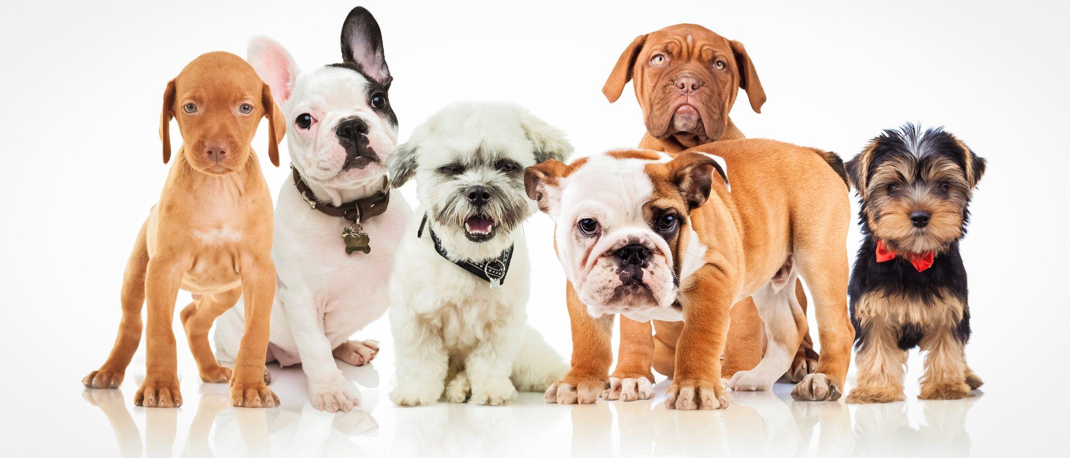 Consejos para elegir la raza de tu primer perro