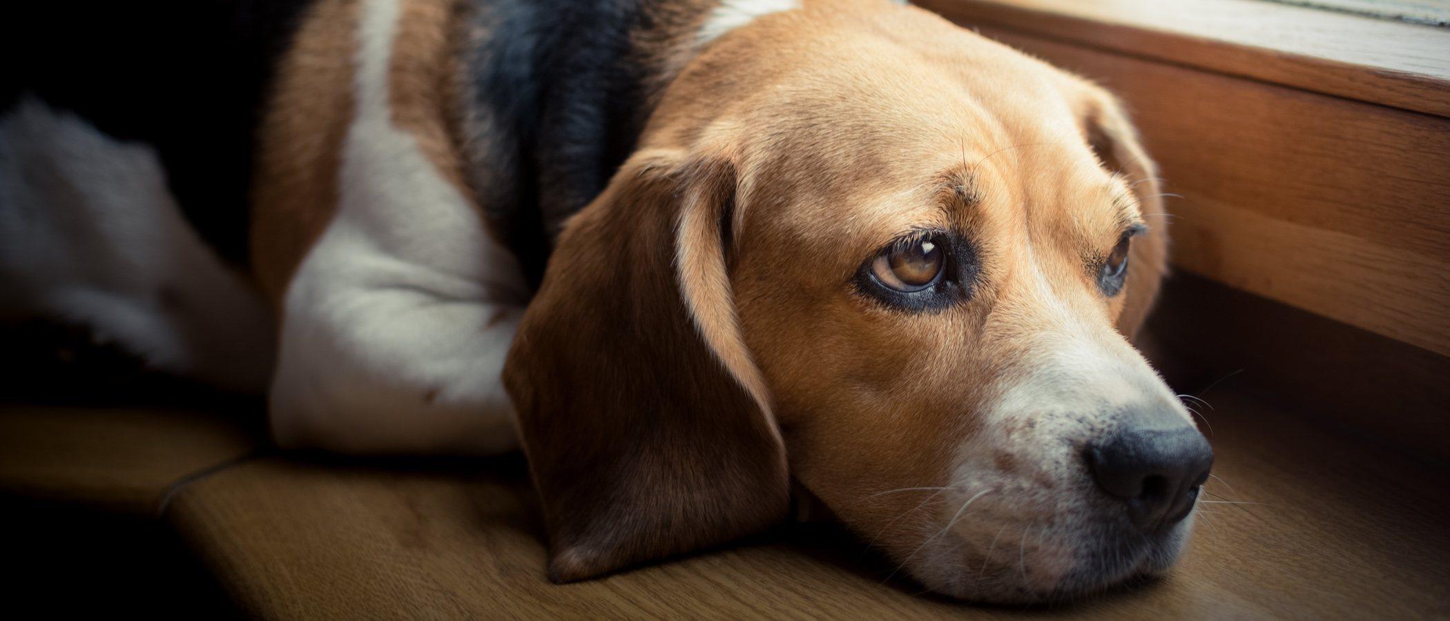 Mastocitoma canino: qué es y cómo se trata