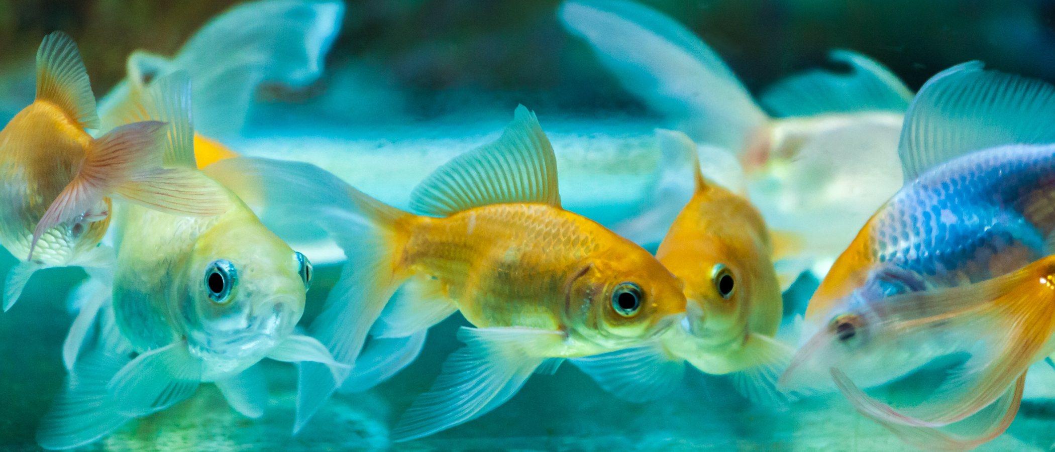 Enfermedad de la vejiga natatoria en los peces