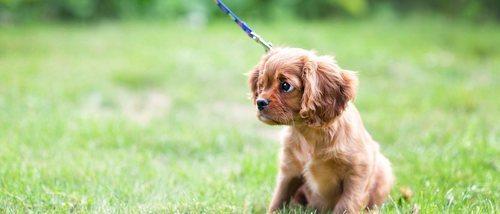 Cómo enseñar a pasear a un perro cachorro