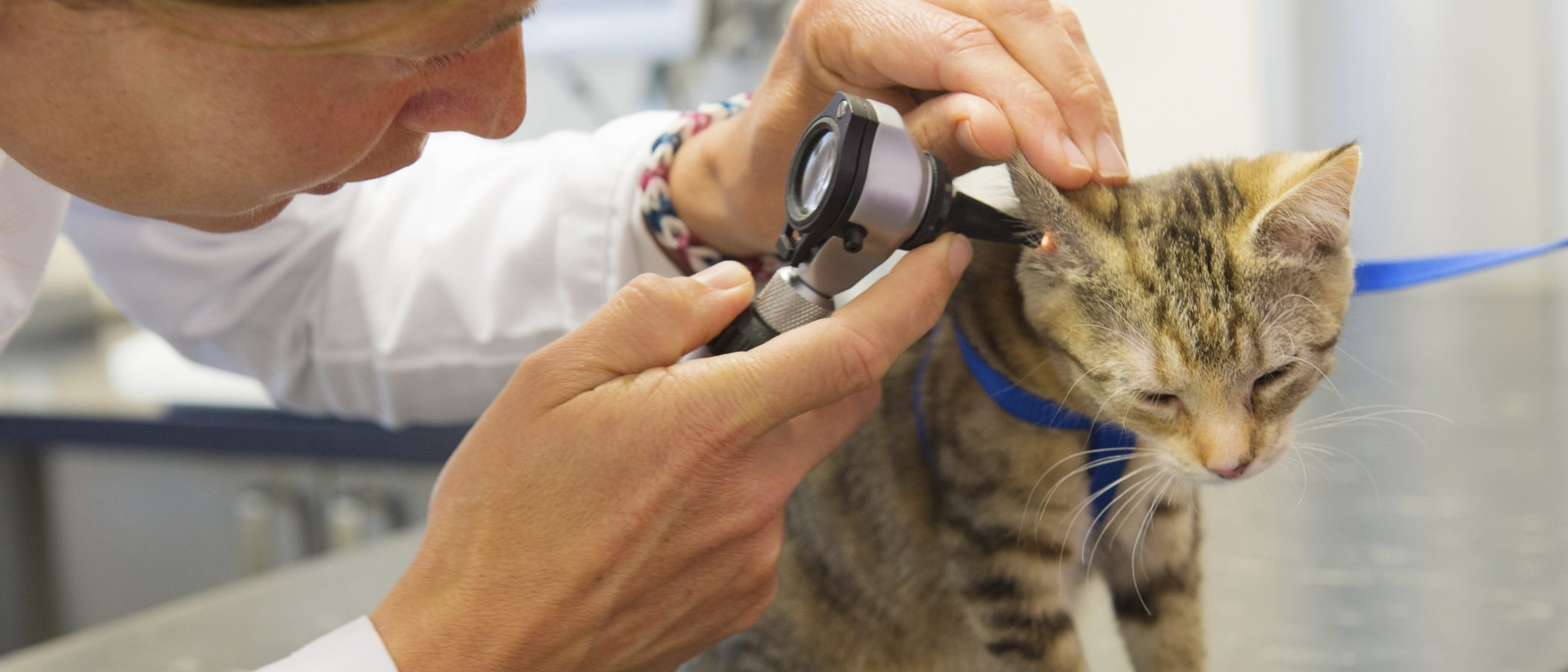 Problemas de audición en gatos