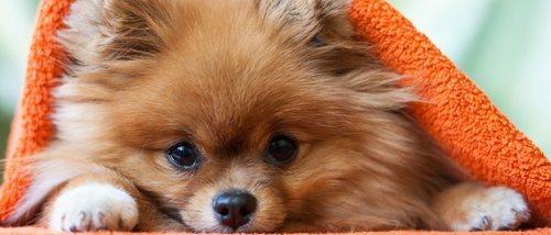 ¿Cómo es la personalidad de un perro de raza Pomerania?