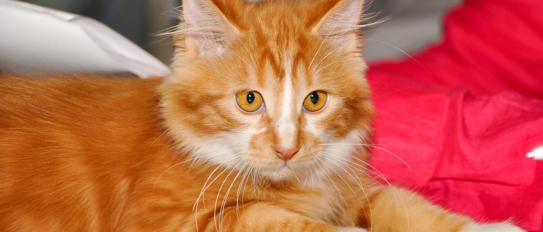 Descubre todo sobre la raza de gato Cymric