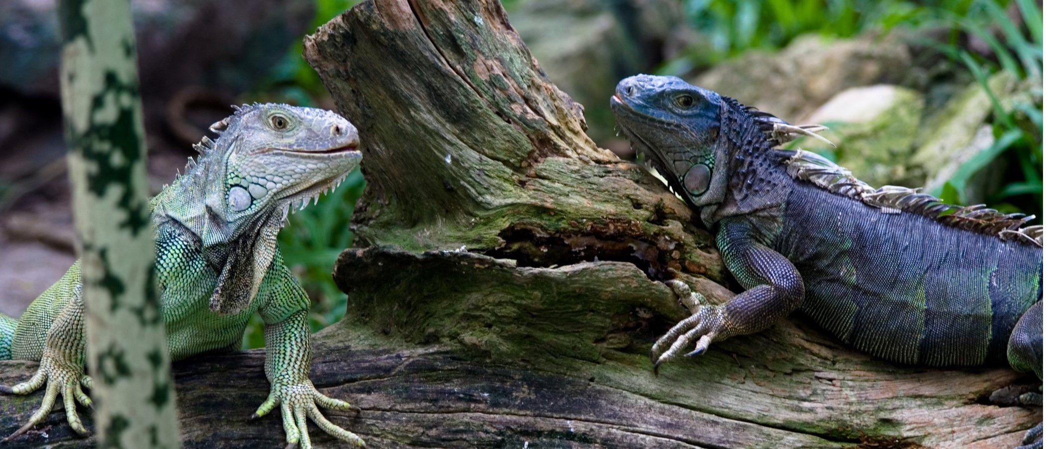 Diferencias entre la iguana verde y la iguana negra