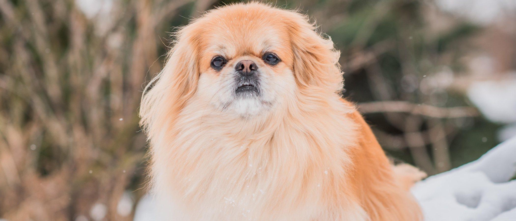 25 curiosidades de la raza de perro Pequinés