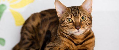Displasia de cadera en gatos: Todo lo que necesitas saber