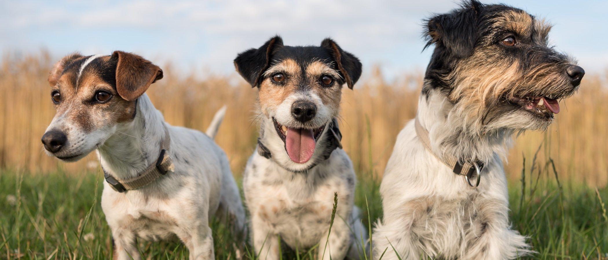 Los sentidos de los perros
