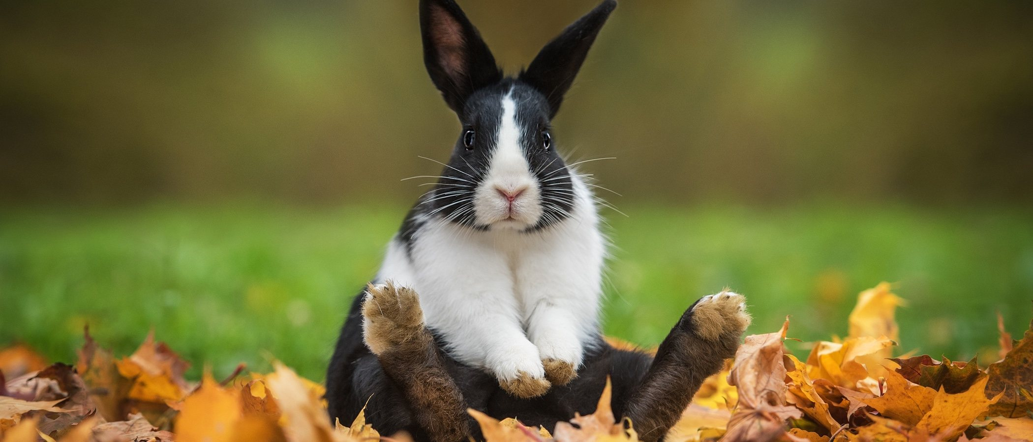 Cómo es el celo en los conejos macho y hembra