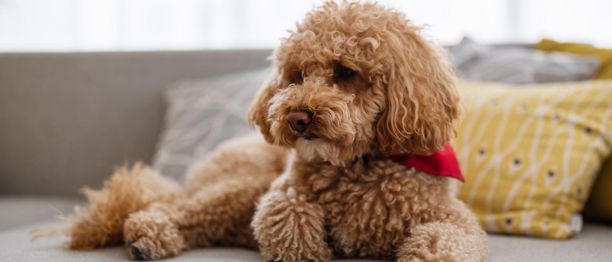 Caniche enano o Poodle: conoce esta raza de perro
