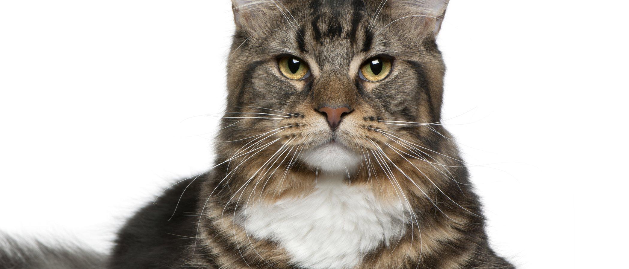 Demencia senil en gatos: síntomas y tratamientos