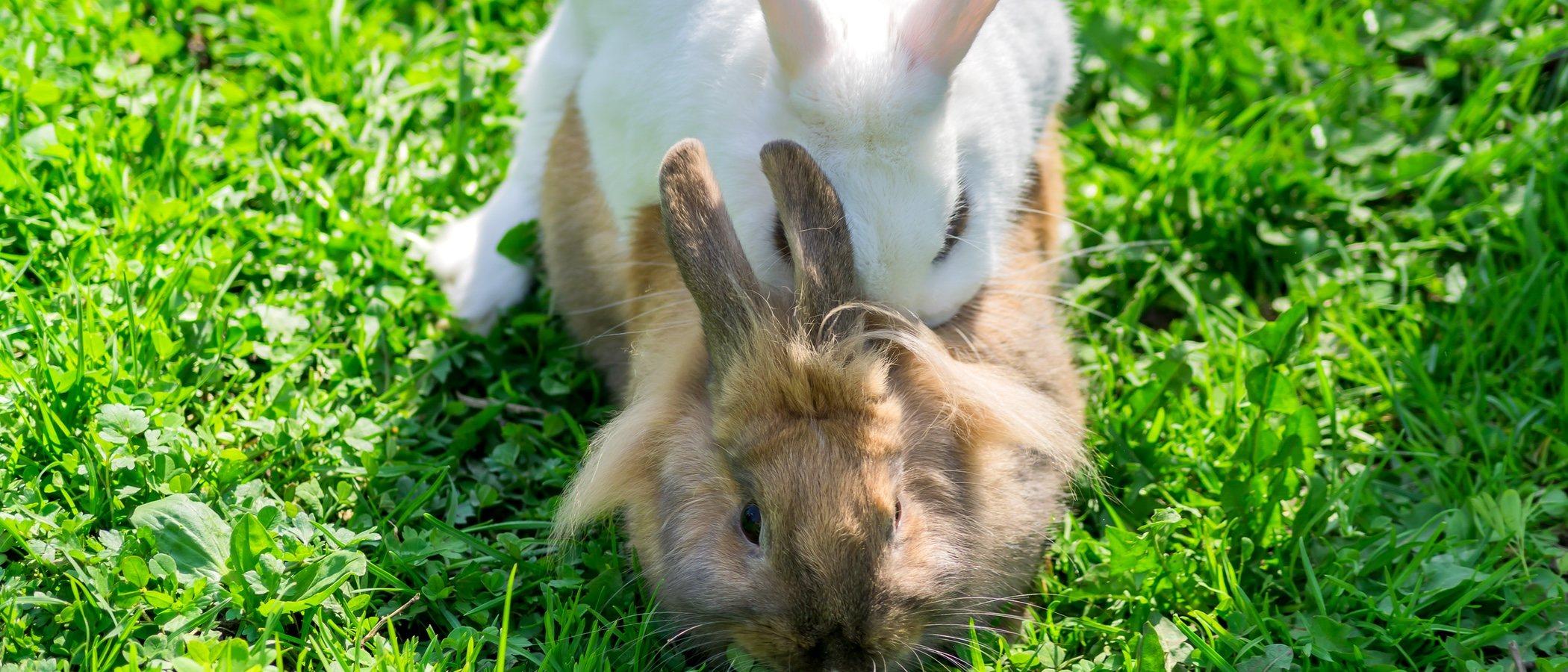 Cómo se aparean los conejos