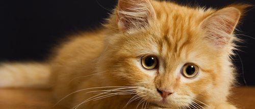 ¿Hasta qué edad crecen los gatos?