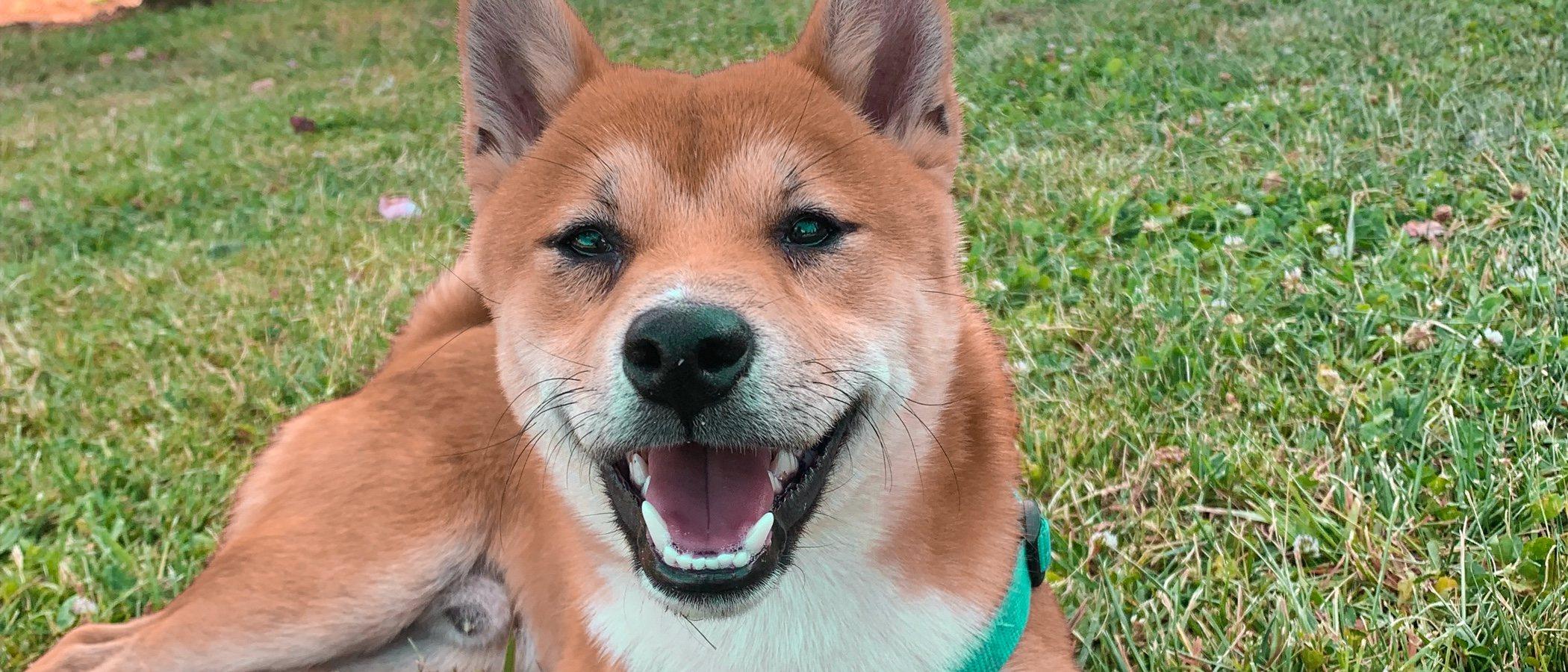 Personalidad de la raza de perro Shiba Inu