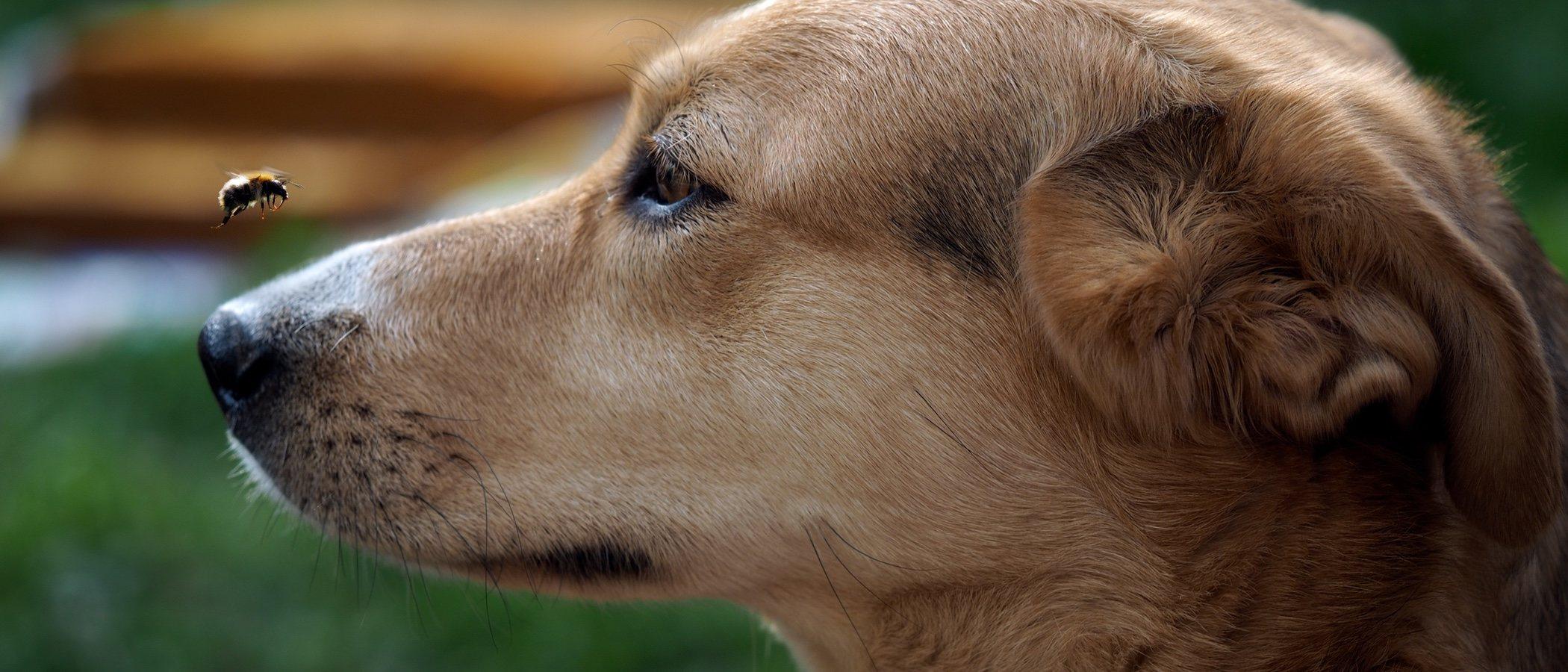 Qué hacer si a tu perro le pica una abeja