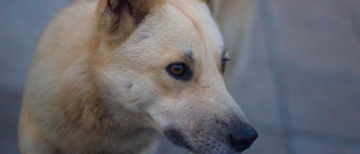 Can de Palleiro: conoce todo sobre esta raza originaria de Galicia