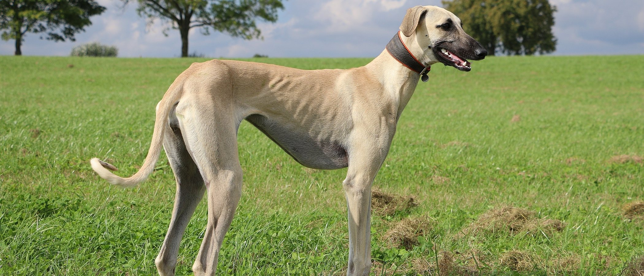 Razas de perro: Sloughi o Lebrel árabe