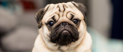Personalidad de la raza de perro Carlino
