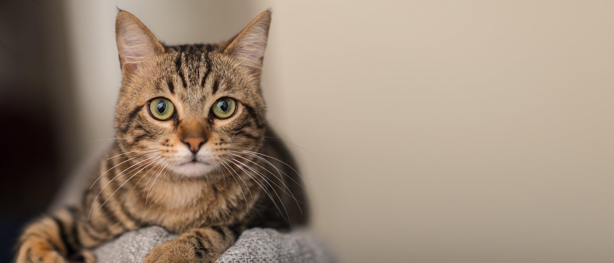 Tipos de parásitos comunes en gatos