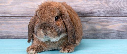 Cuánto dura el embarazo de una coneja