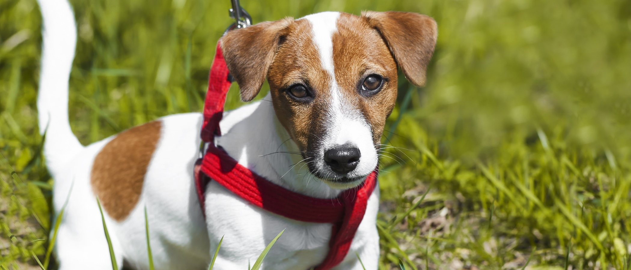 Tipos de arneses y collares para perros