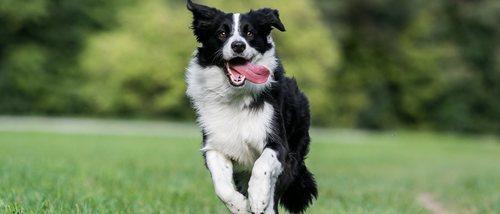 Tipos de la raza de perro Collie