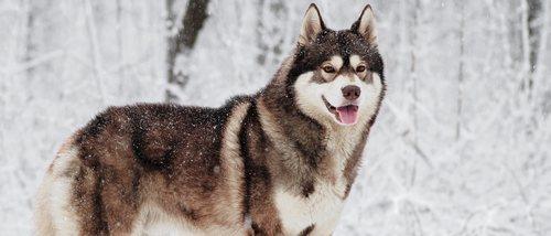 8 curiosidades sobre el Husky siberiano