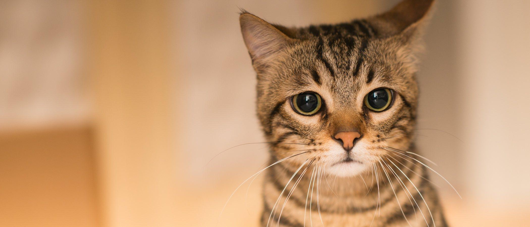 Bolas de pelo en gatos: ponle solución