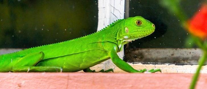 Iguanas bebé: la alimentación correcta