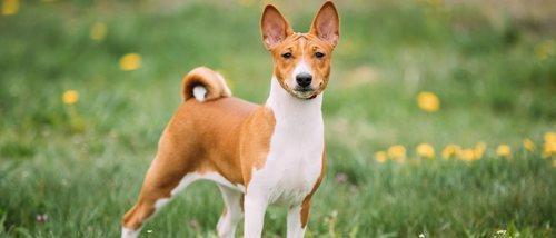Razas de perro: Basenji