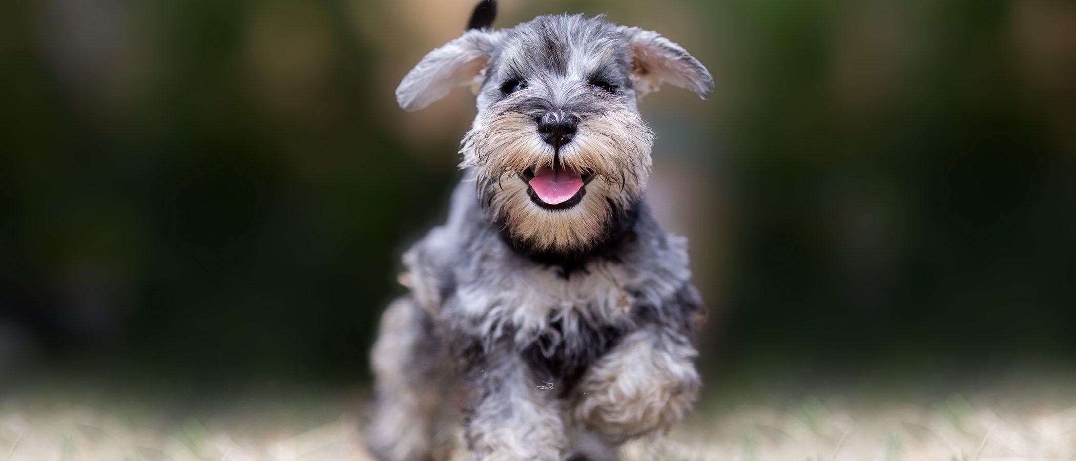 10 curiosidades sobre la raza de perro Schnauzer