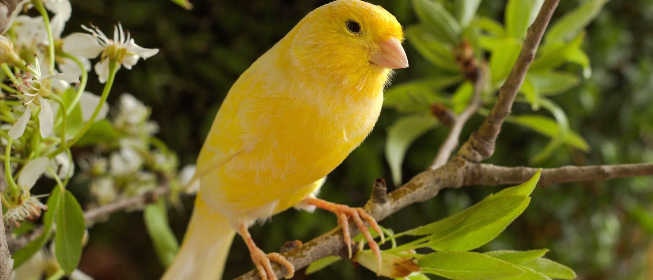 Ácaros en el plumaje de los canarios: todo lo que necesitas saber