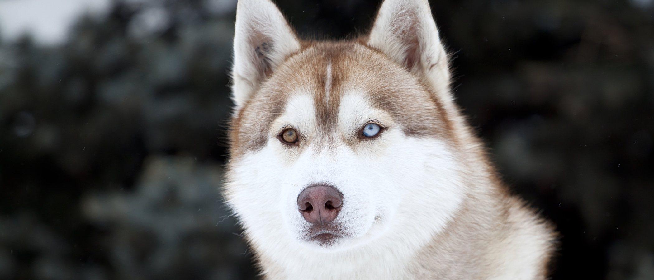 Enfermedades comunes del Husky siberiano