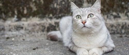 Razas de gato: Burmilla