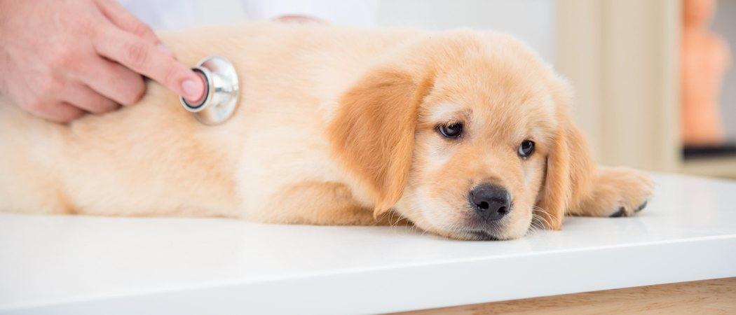 Problemas digestivos en perros