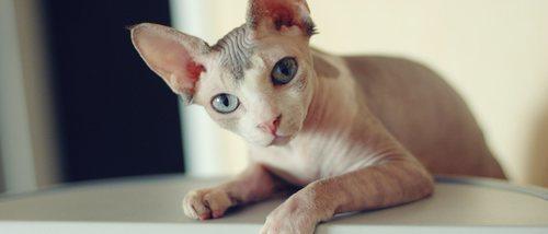 Razas de gato de pelo corto