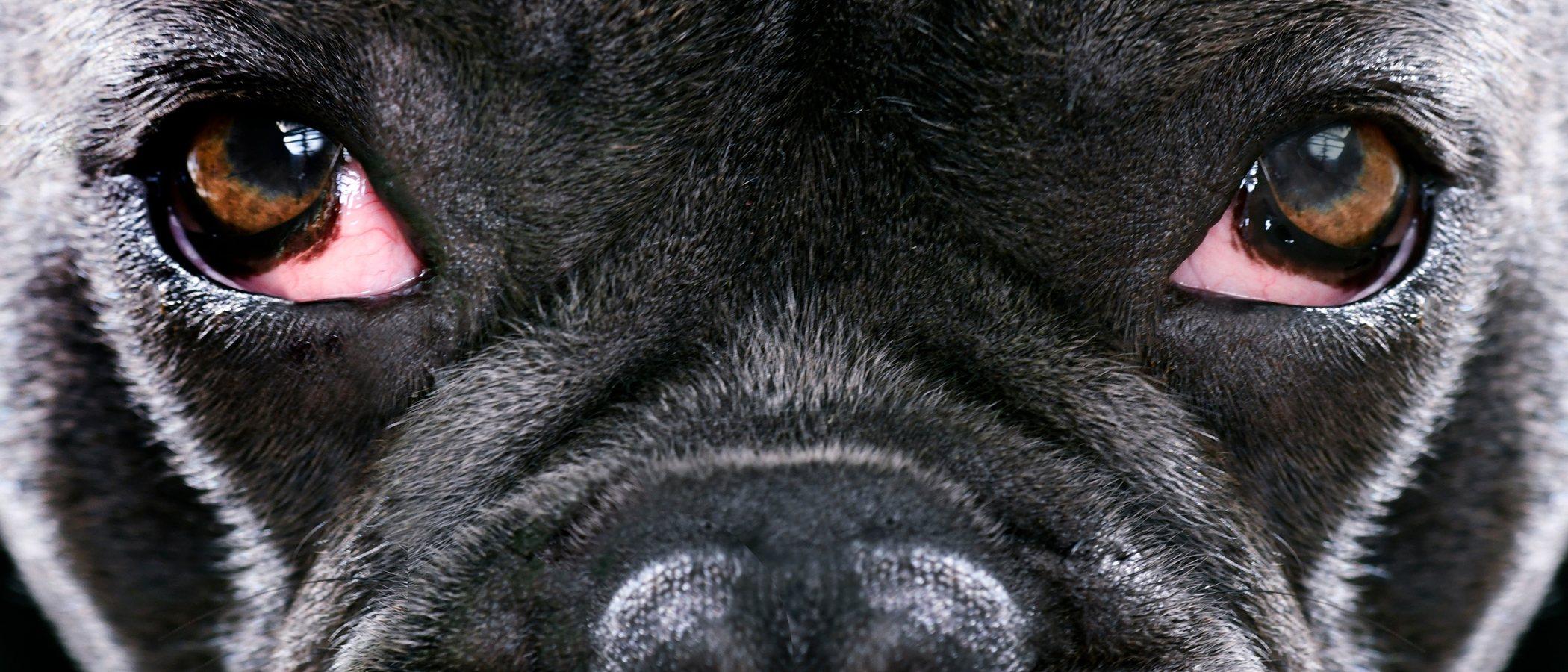 Conjuntivitis en perros: síntomas y tratamientos