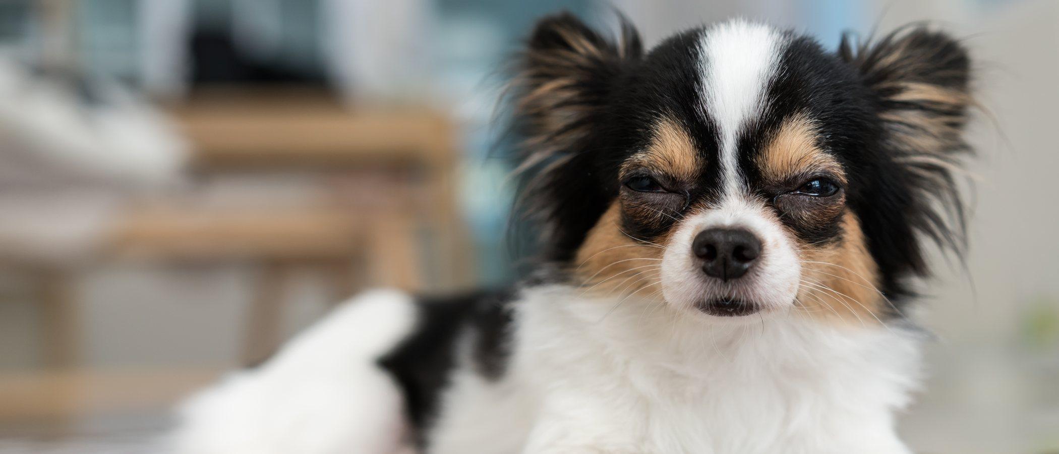 Estrabismo en perros