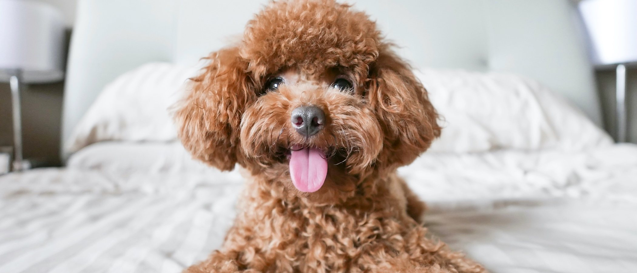 11 curiosidades de los perros Caniche