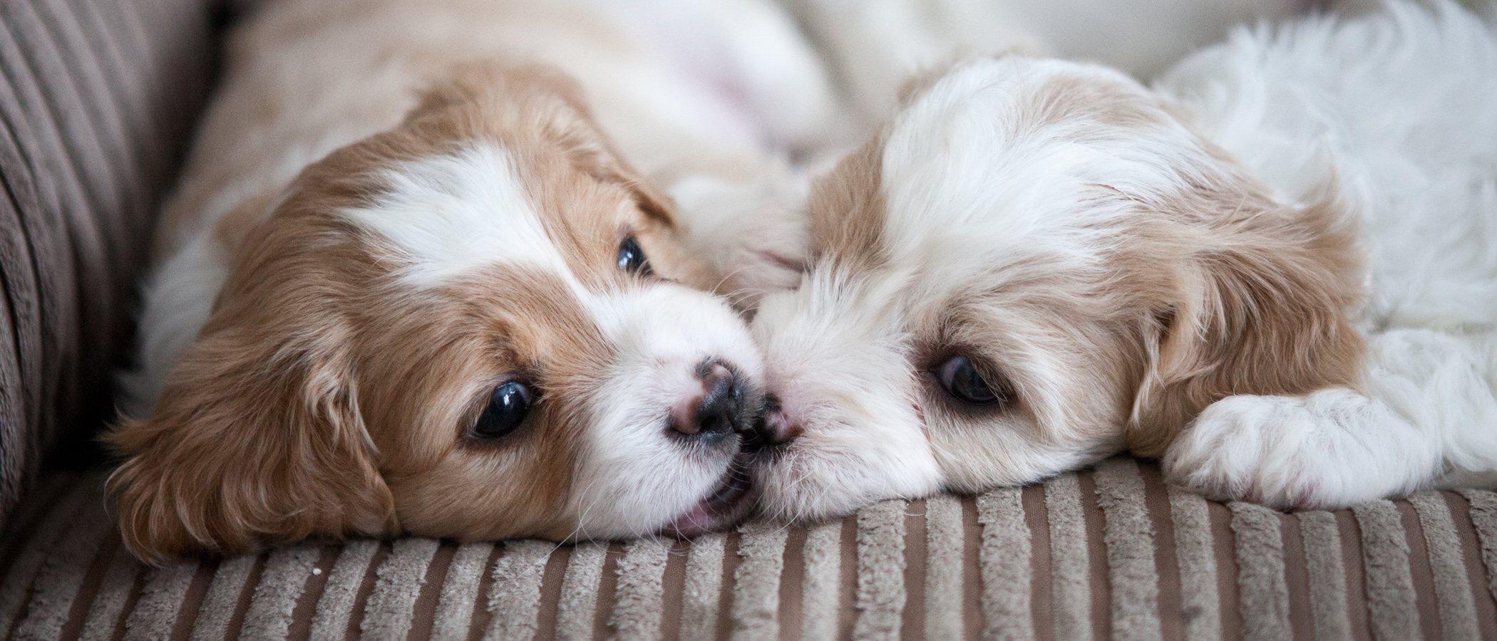 Razas de perro: Cavachón