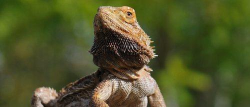 Pogona o dragón barbudo: conoce todo sobre este reptil