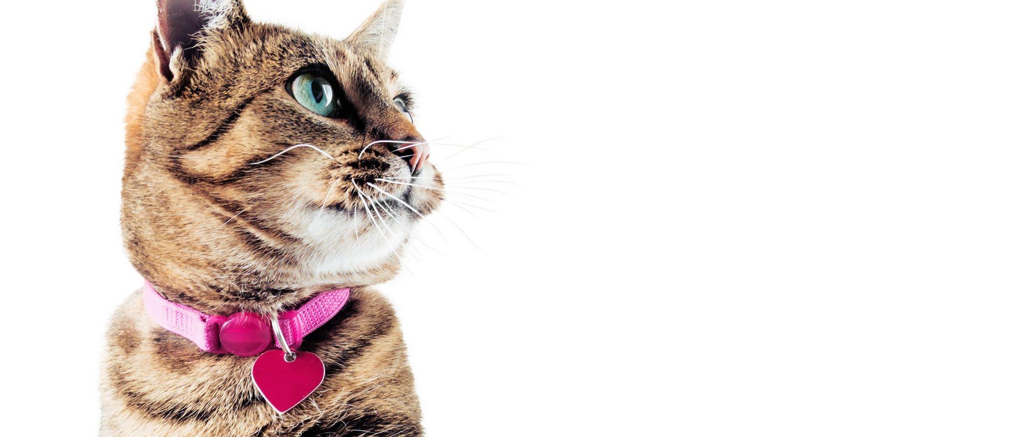 Collares para gatos: todo lo que tienes que saber