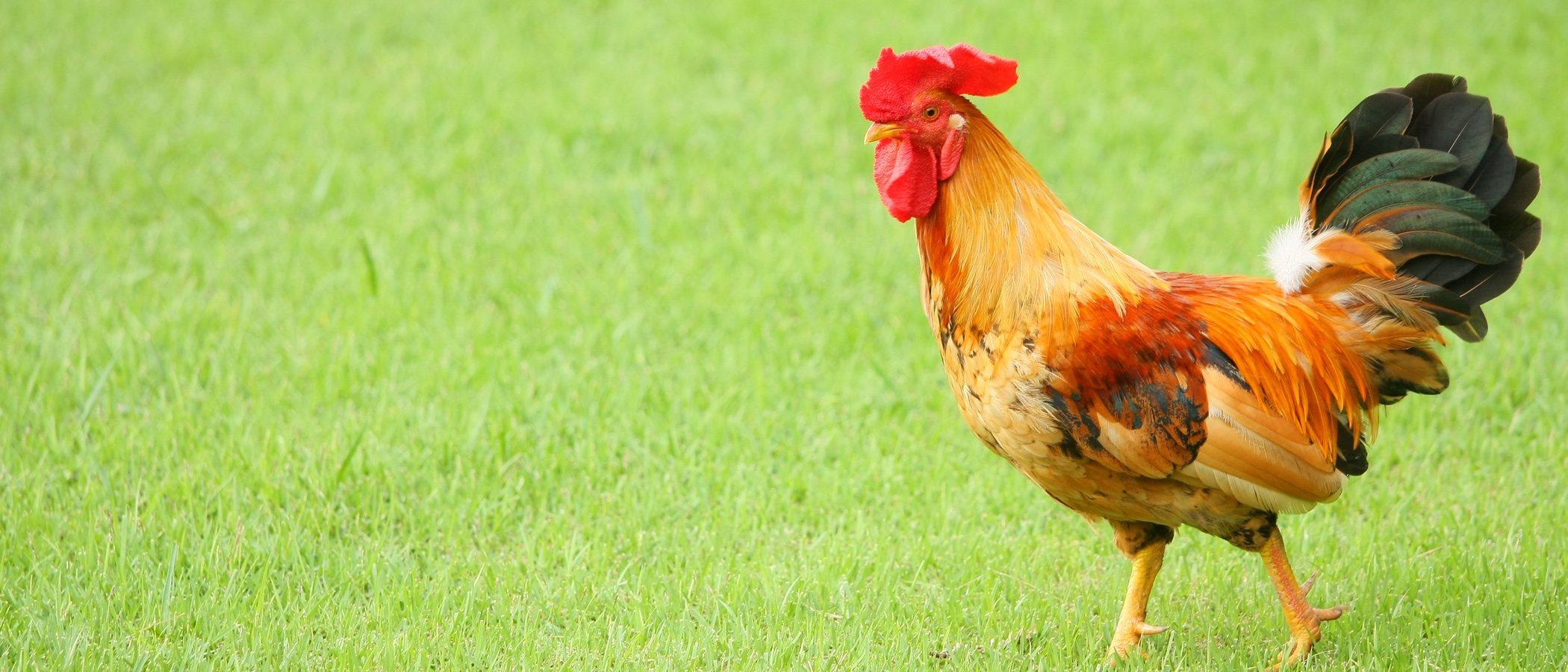 Tener gallinas como mascotas, ¿sí o no?