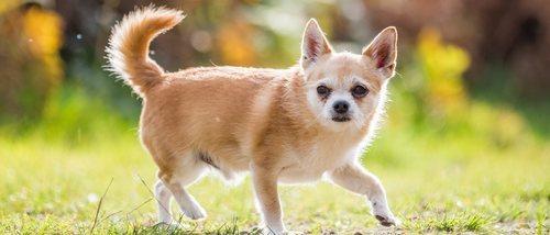 Chorkie: conoce todo sobre esta peculiar raza de perro