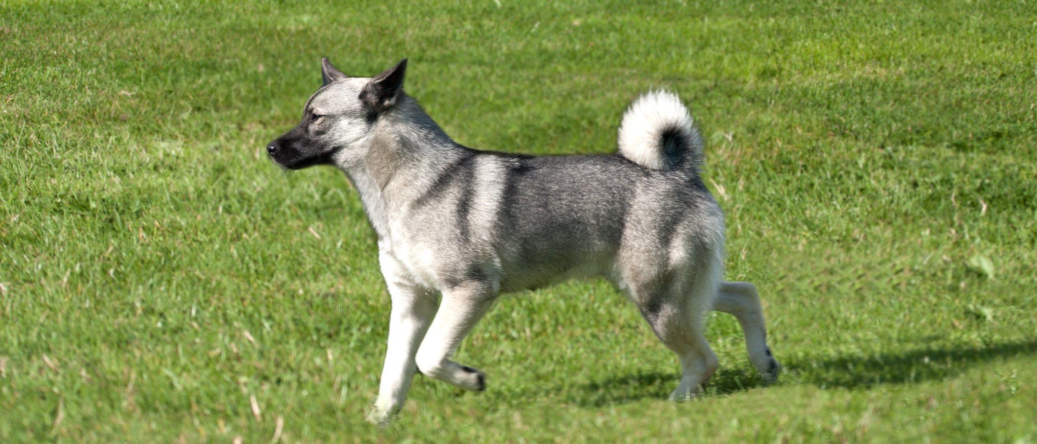 Razas de perro: Buhund noruego