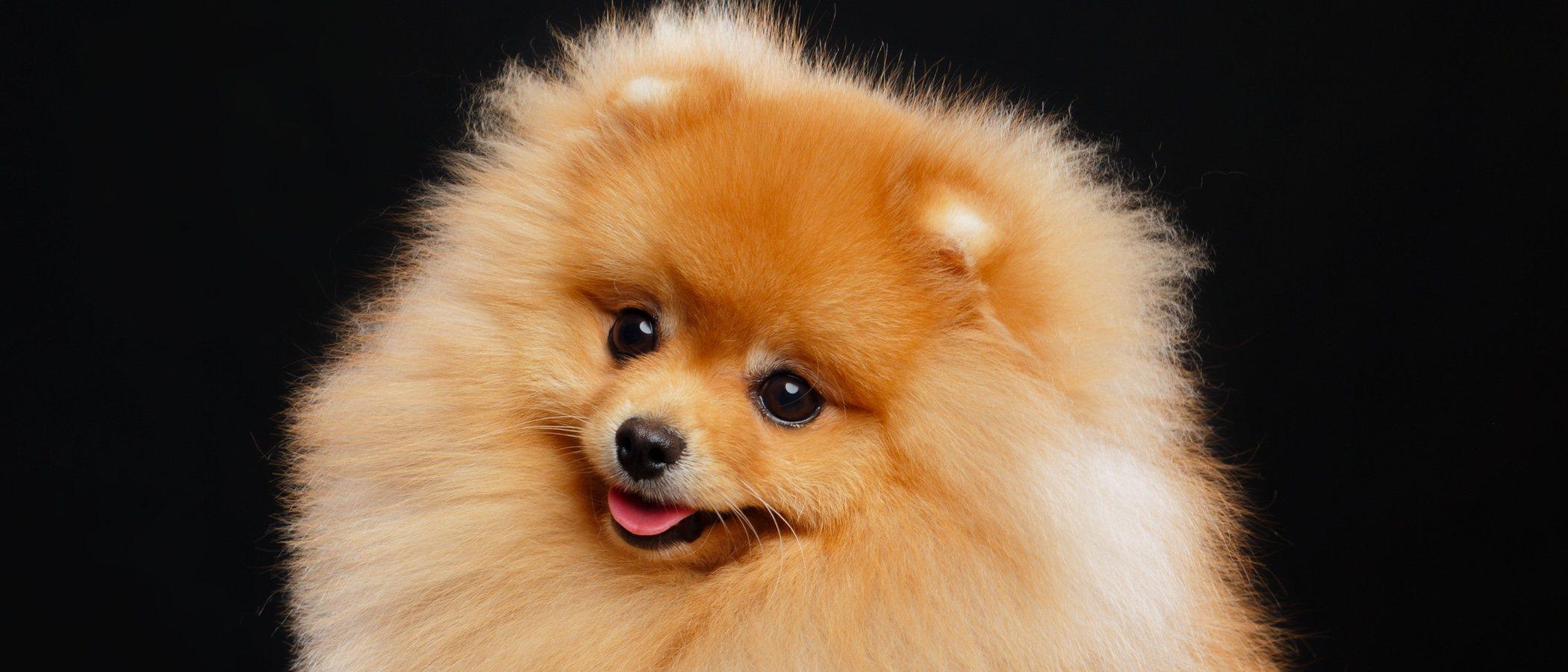 Spitz alemán: conoce todo sobre esta raza de perro