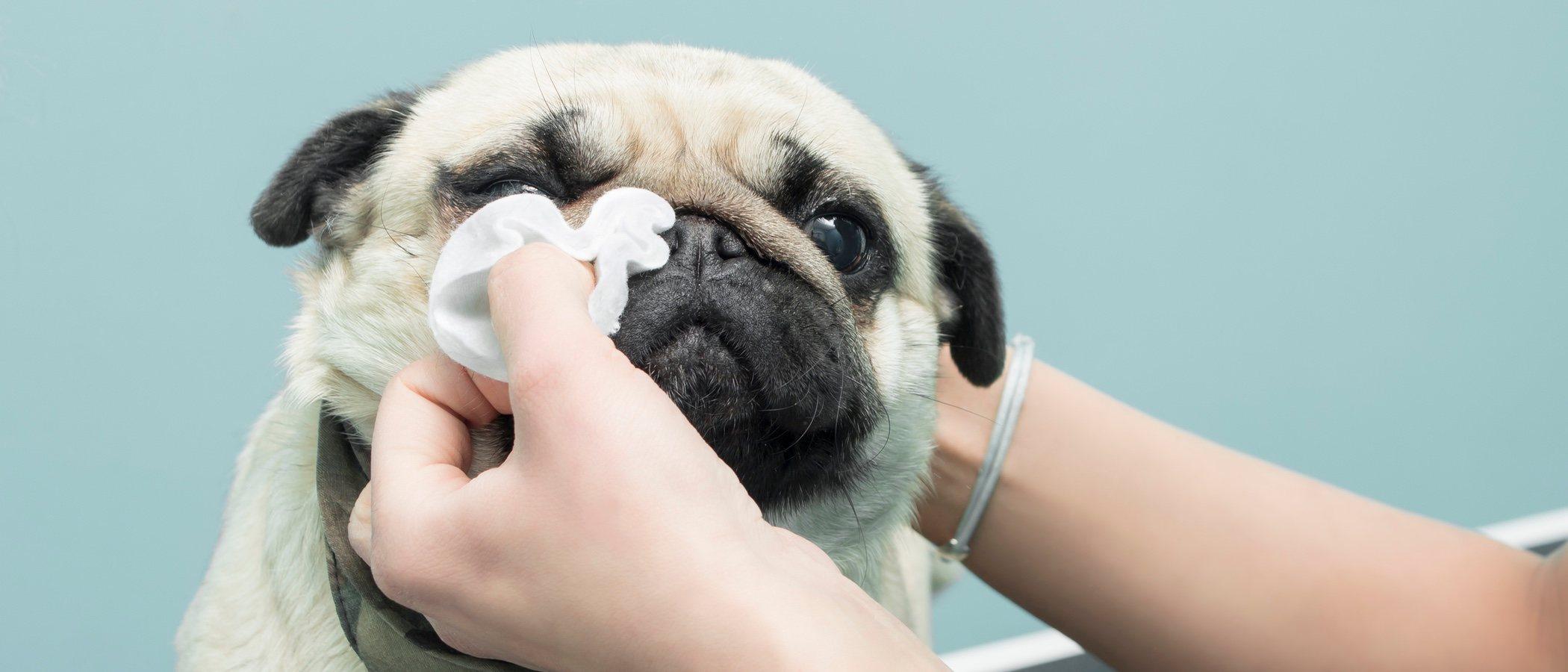 Cómo eliminar las manchas del lagrimal de tu perro