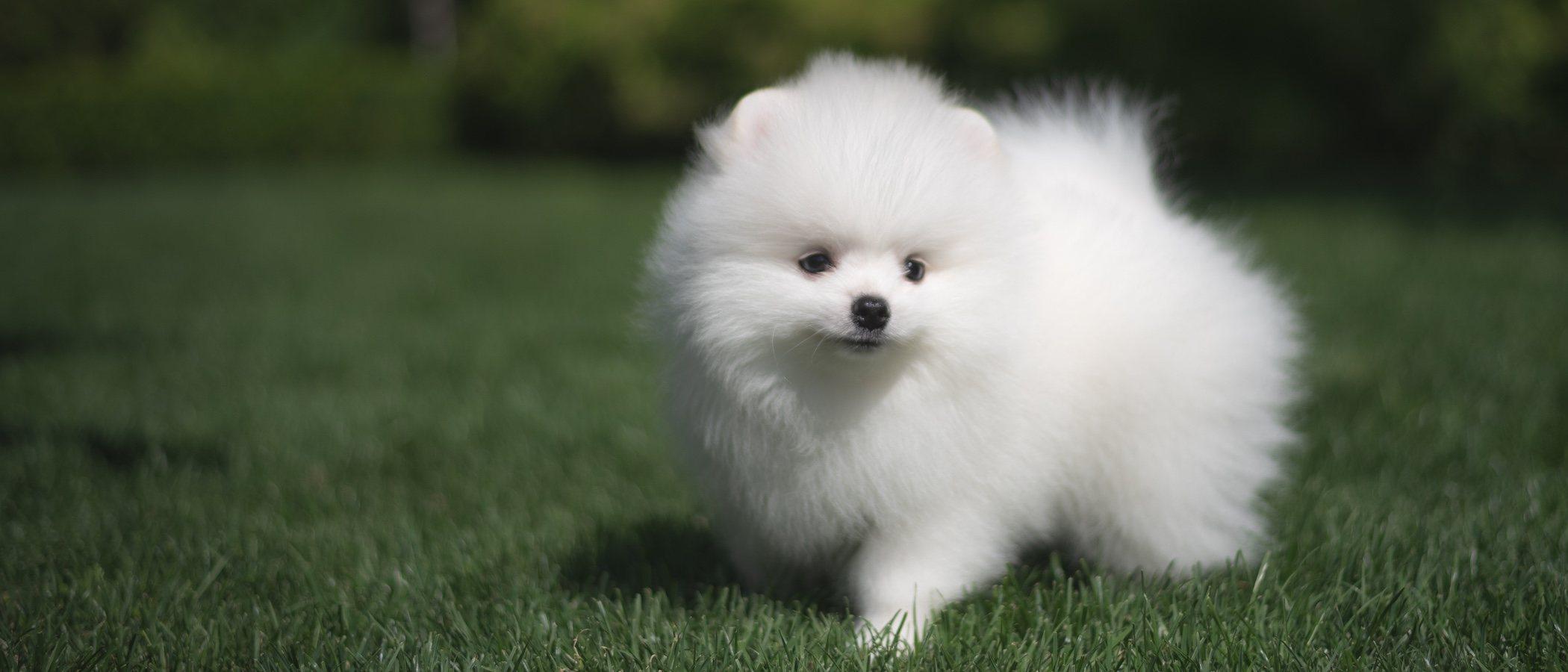 Razas de perro: Spitz japonés