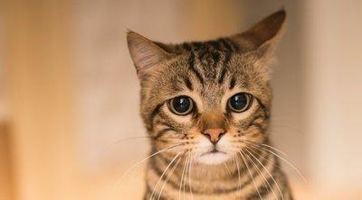 Cáncer de piel en gatos: todo lo que necesitas saber