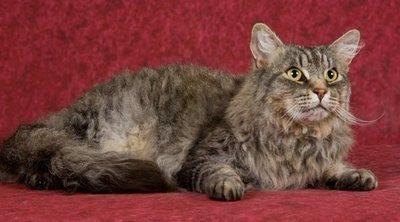 Razas de gato: LaPerm