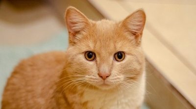 Razas de gato: Mist australiano